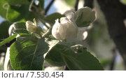 Купить «Цветки и бутоны яблони. Штрейфлинг», видеоролик № 7530454, снято 20 мая 2015 г. (c) Mike The / Фотобанк Лори