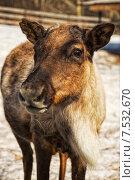 Детёныш оленя. Стоковое фото, фотограф Ирина Нуртдинова / Фотобанк Лори