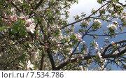Купить «Цветущая яблоня. Мельба. Панорама-наезд. Slide Camera.», видеоролик № 7534786, снято 20 мая 2015 г. (c) Mike The / Фотобанк Лори