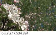 Купить «Ветка цветущей яблони и насекомое. Мельба. Панорама налево. Slide Camera», видеоролик № 7534894, снято 20 мая 2015 г. (c) Mike The / Фотобанк Лори