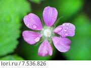 Купить «Rubus arcticus. Цветок княженики в каплях дождя», фото № 7536826, снято 9 июня 2015 г. (c) Григорий Писоцкий / Фотобанк Лори