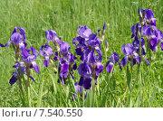 Купить «Фиолетовые бородатые ирисы (лат. Iris barbatus)», эксклюзивное фото № 7540550, снято 7 июня 2015 г. (c) Елена Коромыслова / Фотобанк Лори