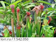 Купить «Саррацения (Sarracenia) - растение хищник», фото № 7542050, снято 21 декабря 2012 г. (c) Татьяна Белова / Фотобанк Лори