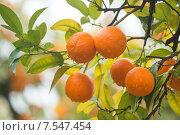 Урожай на мандариновых деревьях в Испании, декабрь (2014 год). Стоковое фото, фотограф Наталия Елсукова / Фотобанк Лори