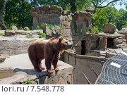 Купить «Бурый медведь в открытом вольере. Калининградский зоопарк», эксклюзивное фото № 7548778, снято 13 июня 2015 г. (c) Svet / Фотобанк Лори