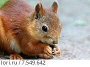 Купить «Белка с орехом», фото № 7549642, снято 13 июня 2015 г. (c) Александр Тарасенков / Фотобанк Лори
