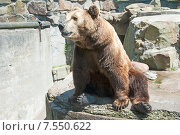 Купить «Бурый медведь. Калининградский зоопарк», эксклюзивное фото № 7550622, снято 13 июня 2015 г. (c) Svet / Фотобанк Лори
