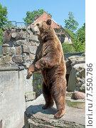 Купить «Бурый медведь стоит на задних лапах, привлекает к себе внимание посетителей, Калининградский зоопарк», эксклюзивное фото № 7550786, снято 13 июня 2015 г. (c) Svet / Фотобанк Лори