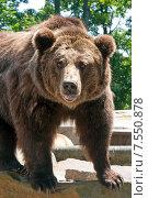 Купить «Бурый медведь показывает язык», эксклюзивное фото № 7550878, снято 13 июня 2015 г. (c) Svet / Фотобанк Лори