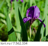 Фиолетовый ирис. Стоковое фото, фотограф Полина Соколова / Фотобанк Лори