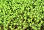 Кукушкин лён обыкновенный, или Политрихум обыкновенный (лат. Polytrichum commune), фото № 7566458, снято 16 июня 2015 г. (c) Григорий Писоцкий / Фотобанк Лори