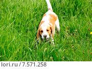 Купить «Охотничья собака Бигль», фото № 7571258, снято 5 июня 2015 г. (c) Татьяна Кахилл / Фотобанк Лори