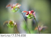 Купить «Хищное растение Саррацения (Sarracenia)», фото № 7574658, снято 21 декабря 2012 г. (c) Татьяна Белова / Фотобанк Лори