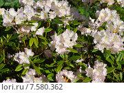 Купить «Олеандр обыкновенный (лат. Nerium oleander)», эксклюзивное фото № 7580362, снято 10 июня 2015 г. (c) lana1501 / Фотобанк Лори
