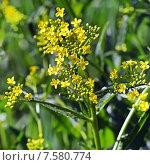 Гулявник Лёзеля (Sisymbrium Loeselii L.) Стоковое фото, фотограф Евгений Мухортов / Фотобанк Лори