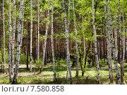 Купить «Березовая роща ранней весной», фото № 7580858, снято 13 мая 2015 г. (c) Маргарита Любарская / Фотобанк Лори