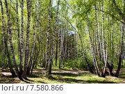 Купить «Березовая роща ранней весной», фото № 7580866, снято 13 мая 2015 г. (c) Маргарита Любарская / Фотобанк Лори