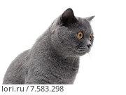 Серый кот с желтыми глазами смотрит в сторону. Стоковое фото, фотограф Ласточкин Евгений / Фотобанк Лори