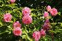 Куст розовой розы, фото № 7595570, снято 20 июня 2015 г. (c) Юрий Морозов / Фотобанк Лори