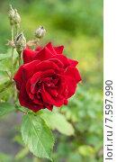 Купить «Красивая красная роза (лат. Rosa)», эксклюзивное фото № 7597990, снято 20 июня 2015 г. (c) Svet / Фотобанк Лори