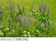 Купить «Люпин многолистный (лат. Lupinus polyphyllus)», эксклюзивное фото № 7606042, снято 14 июня 2015 г. (c) lana1501 / Фотобанк Лори
