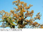 Купить «Крона осеннего дуба», фото № 7606674, снято 4 декабря 2013 г. (c) Татьяна Кахилл / Фотобанк Лори
