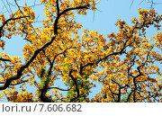 Купить «Крона осеннего дуба», фото № 7606682, снято 4 декабря 2013 г. (c) Татьяна Кахилл / Фотобанк Лори