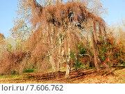Купить «Осеннее дерево», фото № 7606762, снято 4 декабря 2013 г. (c) Татьяна Кахилл / Фотобанк Лори