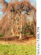Купить «Осеннее дерево», фото № 7606774, снято 4 декабря 2013 г. (c) Татьяна Кахилл / Фотобанк Лори