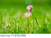 Розовые маргаритки на зеленом поле. Стоковое фото, фотограф Andrei Nekrassov / Фотобанк Лори
