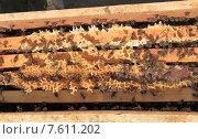 Пчелопакет из Узбекистана. Стоковое фото, фотограф Денис Кошель / Фотобанк Лори