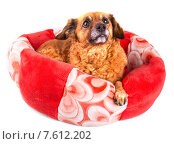 Рыжая собака лежит и смотрит вверх на белом фоне. Стоковое фото, фотограф Владимир Ходатаев / Фотобанк Лори