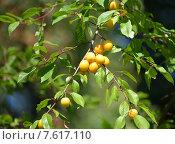 Купить «Ветка с плодами желтой алычи (Prunus cerasifera)», фото № 7617110, снято 13 августа 2014 г. (c) Ирина Борсученко / Фотобанк Лори