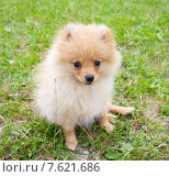 Купить «Pomeranian», фото № 7621686, снято 3 февраля 2014 г. (c) Гладских Татьяна / Фотобанк Лори
