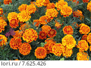 Купить «Бархатцы (Tagetes)», эксклюзивное фото № 7625426, снято 30 июня 2015 г. (c) Дмитрий Неумоин / Фотобанк Лори