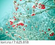Красные ягоды калины покрытые инеем. Стоковое фото, фотограф Александр Fanfo / Фотобанк Лори