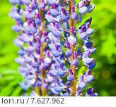 Фиолетовый люпин в солнечный день (крупный план) Стоковое фото, фотограф E. O. / Фотобанк Лори