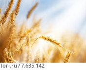 Купить «Колосок и солнечный луч», фото № 7635142, снято 1 июля 2015 г. (c) Игорь Струков / Фотобанк Лори