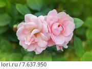 Купить «Цветущие розы», фото № 7637950, снято 1 июля 2015 г. (c) Юлия Кузнецова / Фотобанк Лори