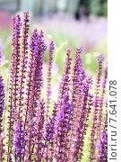 Купить «Веточки лаванды», фото № 7641078, снято 1 июля 2015 г. (c) Владимир Тучин / Фотобанк Лори