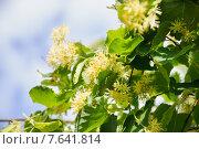 Купить «Цветы липы крупнолистной (Tilia)», фото № 7641814, снято 1 июля 2015 г. (c) Алёшина Оксана / Фотобанк Лори