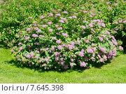 Купить «Спирея японская, или Таволга (лат. Spiraea japonica)», эксклюзивное фото № 7645398, снято 18 июня 2015 г. (c) Елена Коромыслова / Фотобанк Лори