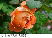 Купить «Роза Леди Эмма Хэмилтон (лат. Rosa Lady Emma Hamilton)», эксклюзивное фото № 7647858, снято 5 июля 2015 г. (c) lana1501 / Фотобанк Лори