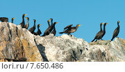 Купить «Flock of Double-Crested Cormorant (Phalacrocorax auritus) on the coast, Lake of The Woods, Ontario, Canada», фото № 7650486, снято 15 июля 2013 г. (c) Ingram Publishing / Фотобанк Лори