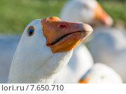 Купить «Close-up of a white duck, Southeast Brook Falls, Gros Morne National Park, Newfoundland and Labrador, Canada», фото № 7650710, снято 25 августа 2013 г. (c) Ingram Publishing / Фотобанк Лори