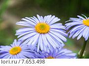Астра альпийская (Aster alpinus) Стоковое фото, фотограф Алёшина Оксана / Фотобанк Лори