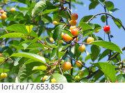 Купить «Ветка вишни со зреющими ягодами», эксклюзивное фото № 7653850, снято 22 июня 2015 г. (c) Елена Коромыслова / Фотобанк Лори