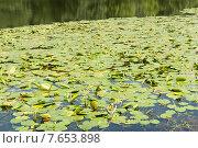 """Купить «Кувшинки в парке """"Кузьминки-Люблино""""», фото № 7653898, снято 1 июля 2015 г. (c) E. O. / Фотобанк Лори"""