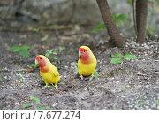 Купить «Пара попугаев неразлучников  на улице», эксклюзивное фото № 7677274, снято 13 июня 2015 г. (c) Dmitry29 / Фотобанк Лори