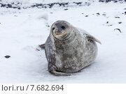 Тюлень крабоед. Стоковое фото, фотограф Fadeev Dmitry / Фотобанк Лори
